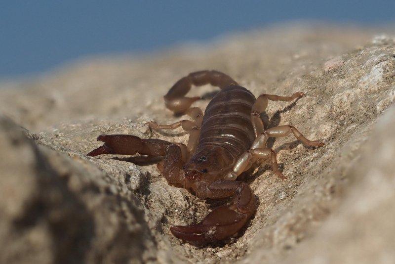 Scorpion bulgar de stepă (Euscorpius delthsevi)