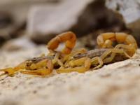 Scorpion balcanic (Buthus gibossus)